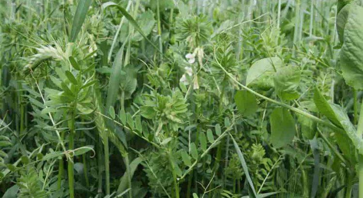 takarmány növények